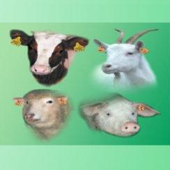 Przypomnienie o obowiązku dokonania spisu bydła, kóz, owiec i świń przebywających w siedzibie stada